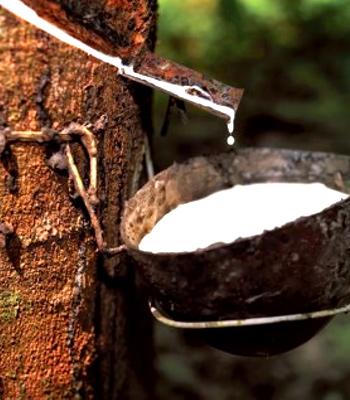 Talalay latex tree sap